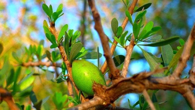 арганово масло - плод